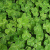 Green Clovers